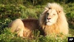 南非东开普地区的彭巴猎园的一头雄狮