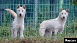 Anjing nasional Korea Utara, jenis Pung San atau Poongsan berbulu putih tebal. (Foto: Dok)