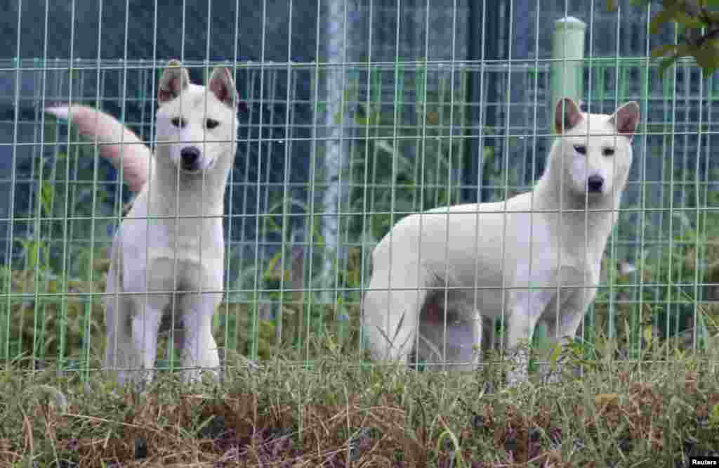 North Korean Poongsan dogs, Chongju (R) and Anju, are seen near CheongShim Peace World Center in Gapyeong, about 60 km (37 miles) northeast of Seoul, South Korea. North Korean leader Kim Jong-Un gave the dogs to late evangelist Reverend Moon Sun-myung and his widow Han Hak-ja this February as birthday gifts.