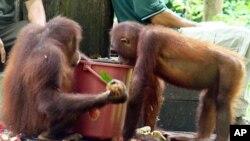 马来西亚一个红毛猩猩康复中心(资料照)