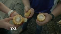 L'industrie du popcorn du Nebraska