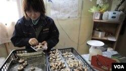 Niiwa Anzai (30 tahun) sedang mengemas jamur shiitake di pertanian keluarganya di Fukushima.