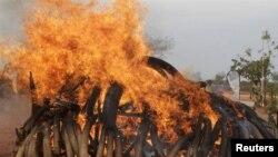 밀수업자에게 압수한 5톤 가량의 상아를 불태우는 케냐 정부 당국(자료사진)