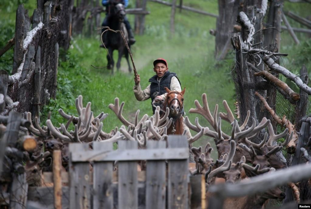 """Заводчик водит оленей на ферме """"Алатау маралы"""" в ущелье Касымбек, Алматинская область, Казахстан, 1 июня 2019 года."""