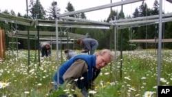 University of Oregon professor Bart Johnson counts plants at a research plot near Rainier, Washington.