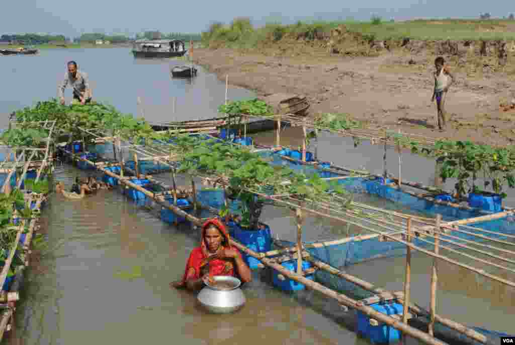 Floating farms where villagers raise fish and ducks and grow vegetables can provide valuable food and income when agricultural land is flooded in northwest Bangladesh during the months-long rainy season. (Amy Yee for VOA)