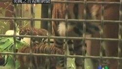 2011-09-01 美國之音視頻新聞: 蘇門答臘虎將在美國動物園首次展出