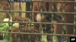 蘇門答臘幼虎將在美國動物園首次展示