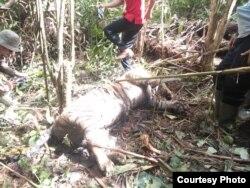 Harimau Sumatera yang ditemukan mati di kawasan hutan produksi terbatas Bukit Badas, Kabupaten Seluma, Bengkulu. Kamis 20 Februari 2020. (Courtesy: BKSDA Bengkulu)