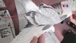Chim bồ câu mang ký tự Trung Quốc là 'chim đua'