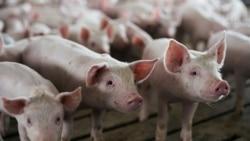 Peste suína mata milhares de porcos na Huíla - 1:38