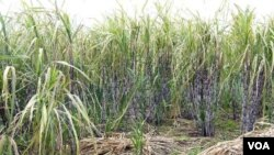 Semaking berkurangnya lahan di Indonesia, membuat petani terhambat mengembangkan tanaman tebu.