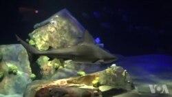 鲨鱼重回纽约水族馆