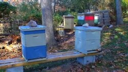زنبور های عسل در ایالت ویرجینیا پرورش میآبند