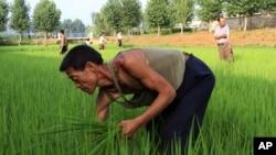 지난 7월 북한 황해도 소흥군의 한 논에서 농부들이 제초 작업을 하고있다.