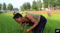 在稻田劳动的朝鲜农民(摄于2014年7月10日)。40多年来,朝鲜一直称自己实现了高度的农业机械化。