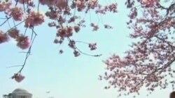 华盛顿特区樱花吸引百万游人