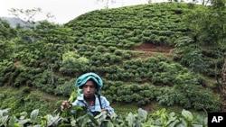 การเปลี่ยนแปลงสภาพภูมิอากาศโลกส่งผลต่อการปลูกชาในรัฐอัสสัม