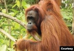 Britney, Orangutan Kalimantan berusia 28 tahun, dilepasliarkan ke hutan Kehjen Sewen di Kabupaten Kutai Timur, Kalimantan Timur, Rabu 17 Februari 2021. (Courtesy: KLHK)