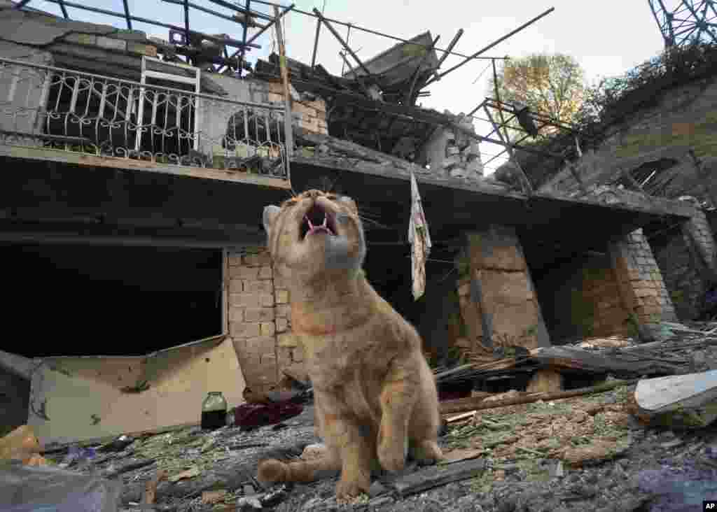 A cat sits in the yard of a house destroyed by shelling by Azerbaijan's artillery during a military conflict in Stepanakert, the separatist region of Nagorno-Karabakh, Tuesday, Oct. 13, 2020. The latest outburst of fighting between Azerbaijani and Armenia