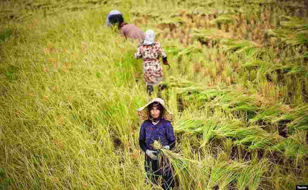 برداشت برنج در شالیزارهای گلستان در شمال ایران