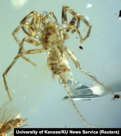 The Cretaceous arachnid Chimerarachne yingi, found trapped in amber after 100 million year appears in a handout illustration provided Feb. 5, 2018.