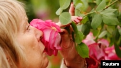 FILE - A visitor smells a Sir Paul Smith climbing rose at the Chelsea Flower Show in London, May 21, 2013.