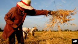 A Cambodian woman harvests rice in Battambang province, about 325 kilometers (200 miles) northwest of Phnom Penh, Cambodia, file photo.