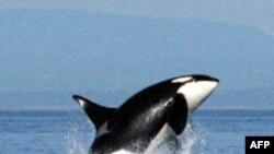 Florida'daki Su Parkında Katil Balına Eğitmenini Öldürdü