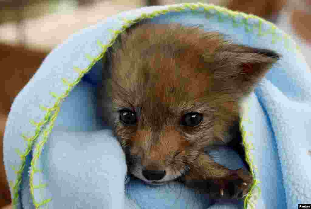 A female baby fox covered in a blanket is seen at the Animal Protective Association of Ronda (ARPA) after being found walking along a street by a villager in El Gastor, near Ronda, Spain.