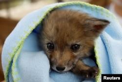 Seekor bayi rubah. (Foto: Reuters)