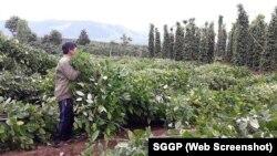 Nông dân trồng tiêu ở Gia Lai.