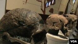 Tengkorak manusia purba yang dipamerkan di Museum Sejarah Alam di Washington. Evolusi manusia menurut penelitian, terjadi bersamaan dengan perubahan iklim bumi jutaan tahun lalu.