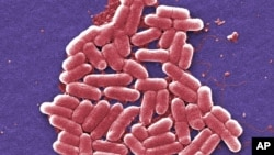 This 2006 colorized scanning electron micrograph image made available by the U.S. Centers for Disease Control and Prevention shows the O157:H7 strain of the E. coli bacteria.