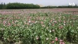 نگرانی از افزایش کشت مواد مخدر در هرات