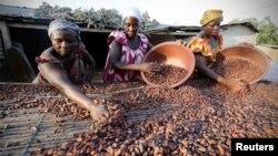 Des femmes travaillant pour une ferme locale ramassent des graines de cacao à Djangobo, Niable, en Côte d'Ivoire, le 17 novembre 2014.