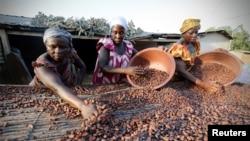 Des femmes d'une ferme ramassent des graines de cacao à Djangobo, Niable, en Côte d'Ivoire, le 17 novembre 2014.