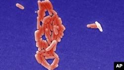 FILE - Salmonella bacterium