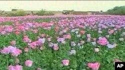 """مامور افغان: """"نرخ تریاک هفت برابر بهای گندم بلند رفته است."""""""
