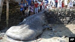 Seekor ikan paus terdampar di Surabaya, Indonesia (foto: September 2010). Operasi penyelamatan seekor ikan paus di Krawang, Jawa Barat (27/7) gagal akibat kerumunan massa yang ingin mellihatnya.