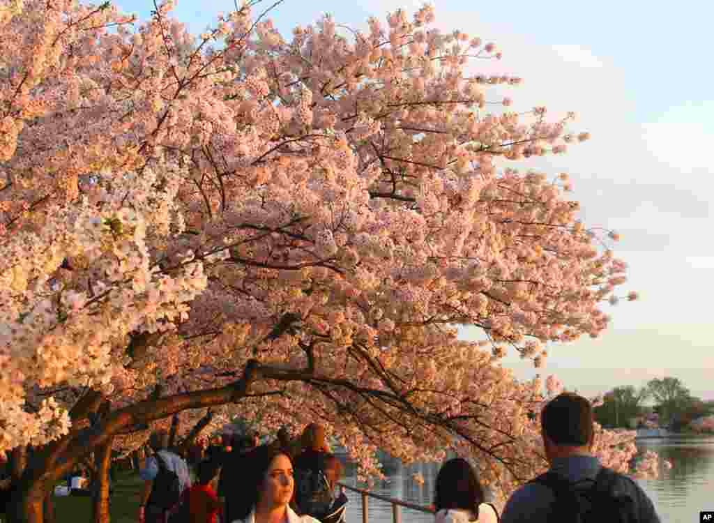 Cherry blossoms along the Tidal Basin, March 22, 2012. (Photo: Flickr user Cabeel)