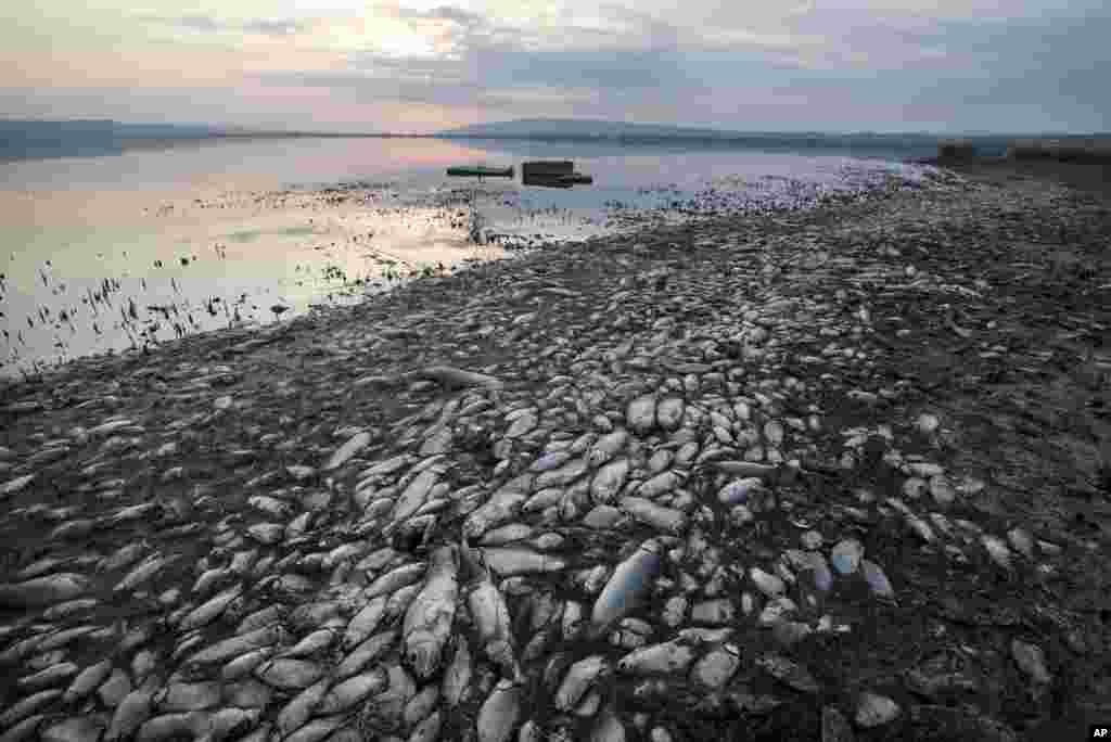 Dead fish lie on the shores of Koroneia Lake in northern Greece. Tens of thousands of dead fish are washing up as the water level has dropped to less than a meter deep. A lack of oxygen in the water is leading to mass deaths among species that live in the lake.