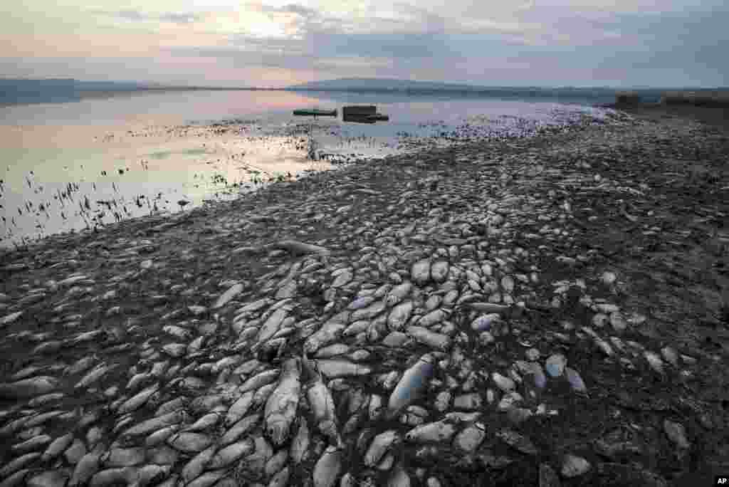 그리스 코로네이아 호스 해안가에 죽은 물고기들이 올라와 있다.