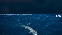 Camera theo đuôi cá mập khổng lồ