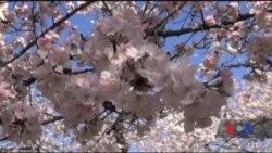 У Вашингтоні зацвіла сакура. Відео