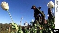 Việc trồng cây thẩu tăng vọt ở Miến Điện