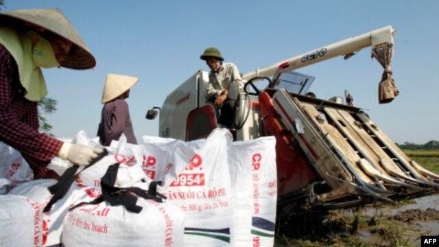 Nông dân thu hoạch lúa trên 1 cánh đồng ở ngoại ô Hà Nội