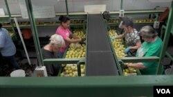 Trabajadores separan manzanas en la Rice Fruit Company, la mayor empacadora de la fruta en la costa este de EE.UU. con sede en York Springs, Pensilvania. (M.Kornely/VOA)