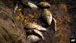 Hasta la mañana del lunes se habían extraído 53 toneladas de peces muertos, casi todos tilapias, en el lago de Cajititlán.