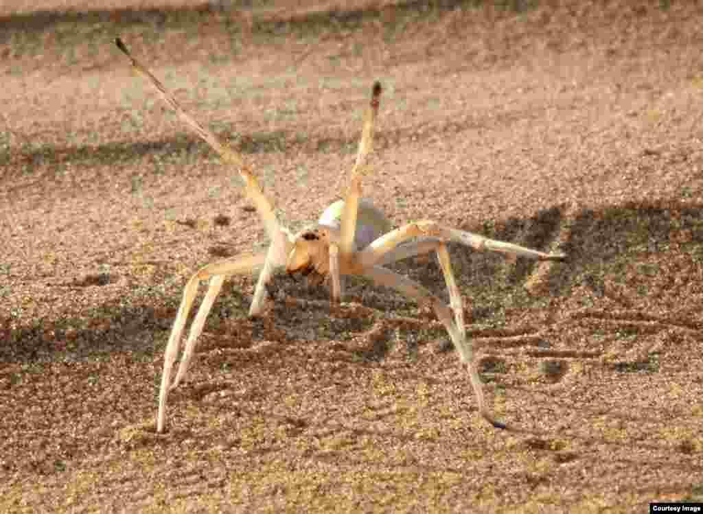 "Cebrennus rechenbergi yang tangkas ini menggunakan kemampuan ""senam"" mereka di gurun Maroko untuk meloloskan diri dari bahaya. Perilaku laba-laba ini seperti robot yang bisa berjalan dengan cara seperti itu. (Ingo Rechenbert, Technical University Berlin)"